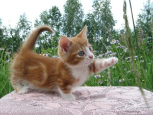 Кошачья лапка любое кровотечение остановит