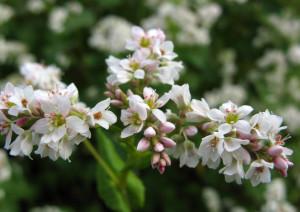 Цветки гречихи спасут от анемии