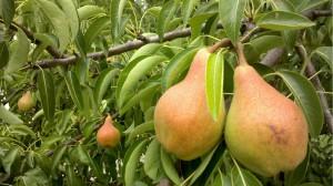 Посадите в саду грушевое дерево