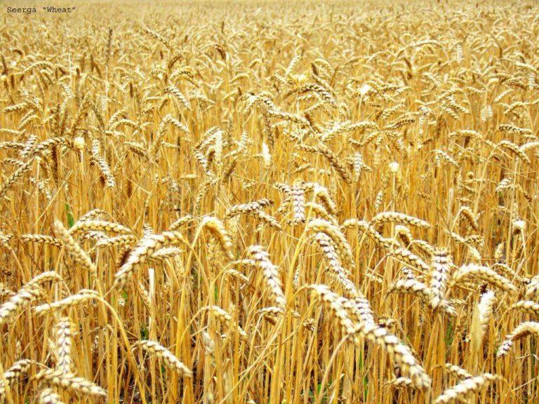 Жара делает пшеницу ядовитой
