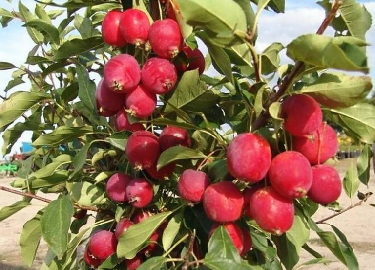 Лечу суставы настойкой райских яблок