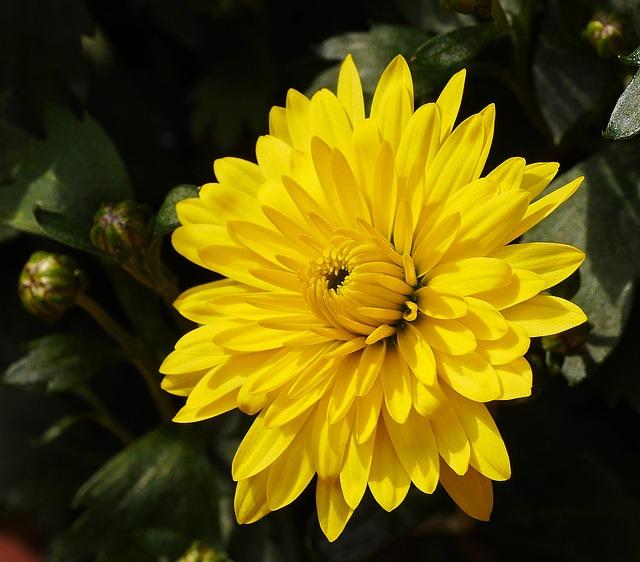 хризантема photo