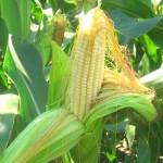 Колени распухли? Наломайте кукурузы!